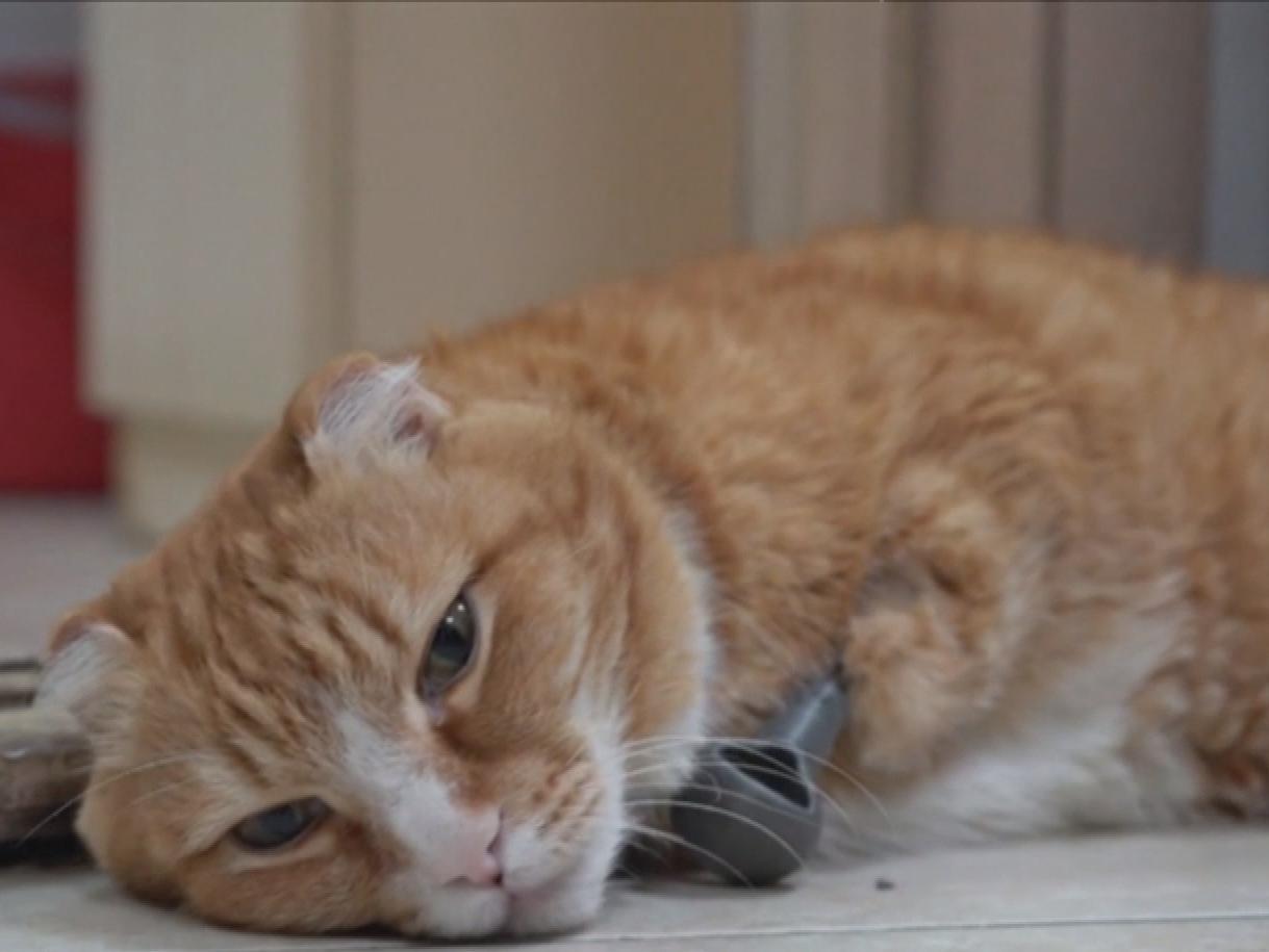 """""""Помогите!"""": кот от страха перед ветеринаром заорал по-человечьи"""